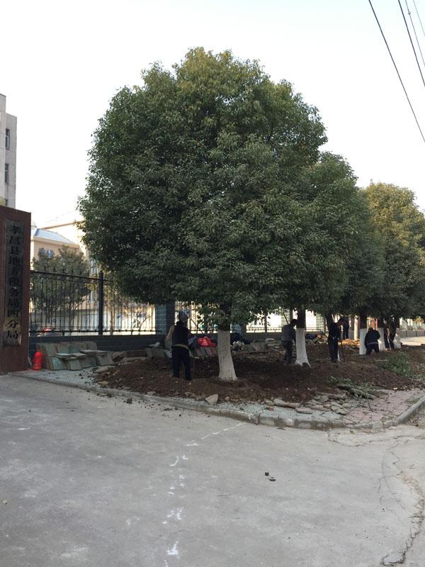 移植大香樟树